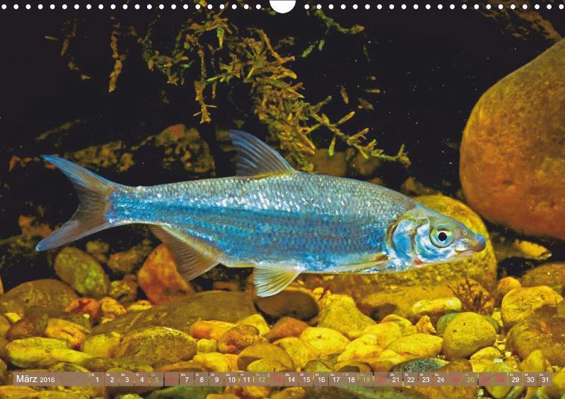 Heimische fische karpfen barbe st r calvendo for Heimische fische